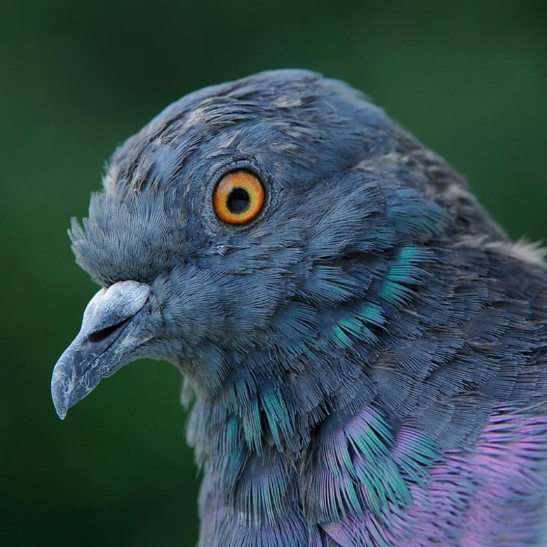 Genomic Diversity And Evolution In The Rock Pigeon