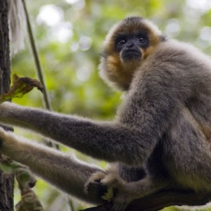 Genome evolution - gibbon